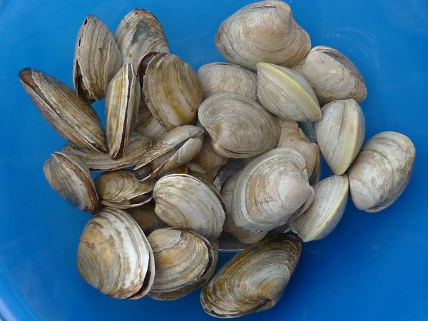 Freshly dug clams